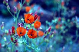 Afbeeldingsresultaat voor bloei