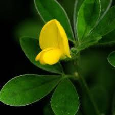 Genista monspessulana | Online Atlas of the British and Irish Flora