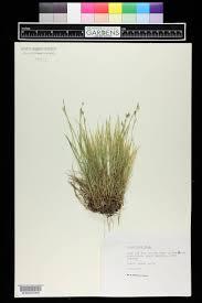 SEINet Portal Network - Carex alba