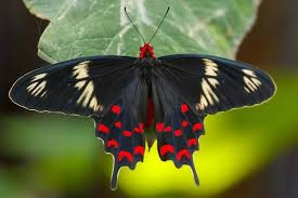 most beautiful butterflies in the world flying. Crimson Rose Consists Of The Most Highlighting Body Covered With Like Reddish Color Belongs To Genus Pachliopta Meaning Originates From Intended Beautiful Butterflies In World Flying