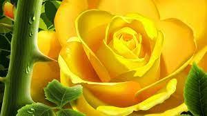 Rose flower wallpaper, Yellow rose flower