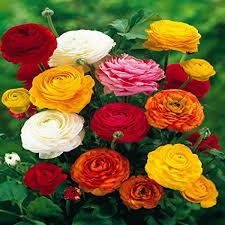 Amazon.com : Ranunculus asiaticus Mix - 60 flower bulbs : Garden ...