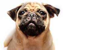 can dogs get pimples what you should