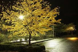 landscape lighting trees. landscape lighting for trees light beaming on a majestic tree highlights its autumn foliage