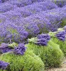 Levandule uzkolistá ´GROSSO´, kont. 1 l | E-shop | LUMIGREEN.cz - Váš  oblíbený internetový obchod s rostlinami
