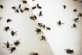 Small Insects Attracted To Light 5 Steps For Indoor House Fly Control