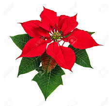 Christmas red poinsettia flower isolated on white background Stock Photo -  24690942