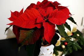 Sag Es Durch Die Blume Mit Einem Weihnachtsstern