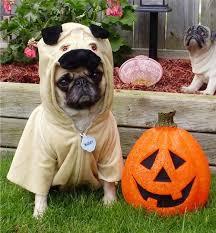 pug in pumpkin costume. Perfect Costume Pug Halloween And Costume Image In Pug Pumpkin Costume