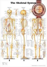 Details About New The Skeletal System 3 Views Anatomical Diagram Anatomy Chart Premium Poster