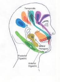 Cranial Reflexology Chart Head Neck And Shoulder Trigger Point Chart 2 Copyright