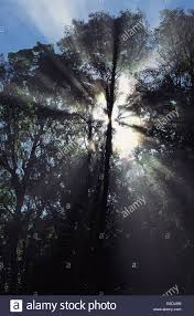 Morning Light Amazon Amazon Basin Brazil Rainforest Trees With The Early Morning