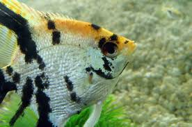 What Types Of Cichlids Can Live With Angelfish Pets