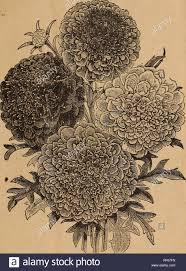 Scabiosa Floral Design Parks Floral Guide 1902 Nursery Stock Pennsylvania
