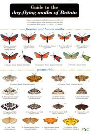 Moth Identification Chart A Guide To The Day Flying Moths Of Britain Identification