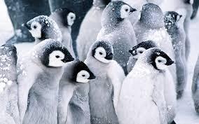 penguin desktop wallpaper. Modren Penguin Inside Penguin Desktop Wallpaper N