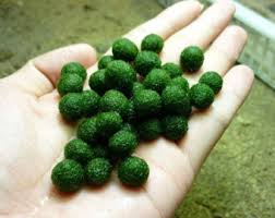 Decorating With Moss Balls Moss ball Etsy 74