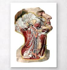 face anatomy geometric head neck and face anatomy art codex anatomicus