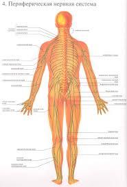 Передача информации в нервной системе Перефирическая нервная система