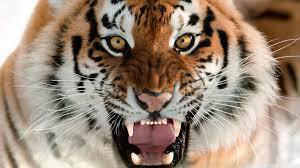 tiger face wallpaper hd. Simple Wallpaper HD 169 Intended Tiger Face Wallpaper Hd P