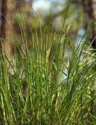 Grass Identification Chart Uk Types Of Grass