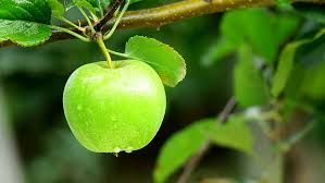 green apple fruit tree. green apple. close up. apple fruit tree r