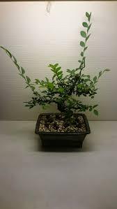 Growing Bonsai Under Led Lights Growing Bonsai Under Led Lights Best Bonsai Images 2018