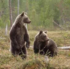 Bildergebnis für bären