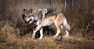Wolf Species Size Chart Mexican Gray Wolf What You Need To Know Earthjustice