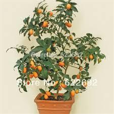 Amazoncom  Kumquat Small Fruit Bearing Tree 100 Seeds Indoor Small Orange Fruit On Tree