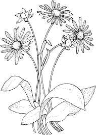 Daisy Asteraceae Coloring Page From Daisy