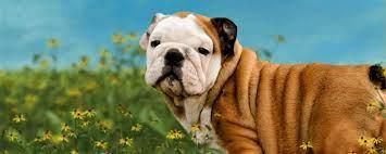 irresiulls english bulldog puppies