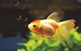 goldfish wallpaper desktop. Fine Goldfish 1920x1200 Animal  Goldfish Wallpaper For Desktop L