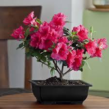 office bonsai. Modren Office Azalea Bonsai  Intended Office I