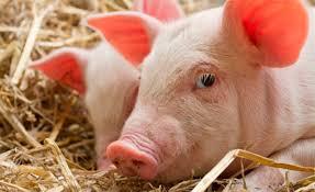 Resultado de imagen para cientificos clonan cerdos