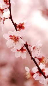Cherry Blossom Wallpaper - EnJpg