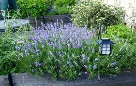 large outdoor potted plants growing lavender home design for choosing