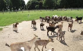 saint cyr l ecole la maison de la famille propose une sortie gratuite à la ferme pégique de gally ce vendredi matin lp lau mansart