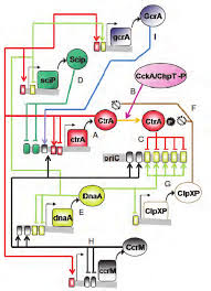 Regulatory Circuits That Control The Process Of Dna Replication In C