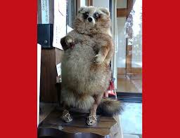 Raccoons In Vending Machine Custom Big Drunk And FurryEverything You Need To Know About Tanuki Plus