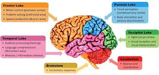 Parietal and occipital lobes