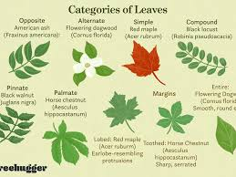 identify deciduous trees by their leaves