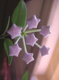 Dalva martins and 13 others like this. Hoya Uma Planta Com Flores De Cera