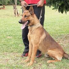 belgian malinois pictures belgian malinois dog