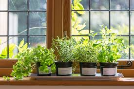 herbs are usually the first plants that come to mind when people think about growing food indoors and there s a good reason they look wonderful crowding