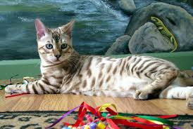 snow bengal cat. Beautiful Snow Handsome Rosetted Seal Mink Snow Bengal Male At 5 Months Old And Snow Cat O
