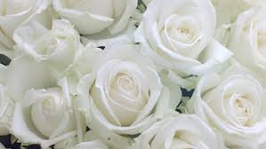 white roses background beautiful fresh