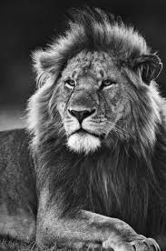 lion portrait black and white. Delighful Black Black And White Lion  Portrait Of Adult Male In Black White  Masai Mara With And I