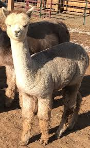 Alpacas For Sale: Oultawz Rosie Dunn: Huacaya, Female, Unproven: Arizona,  Scottsdale