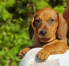purebred miniature dachshund puppies